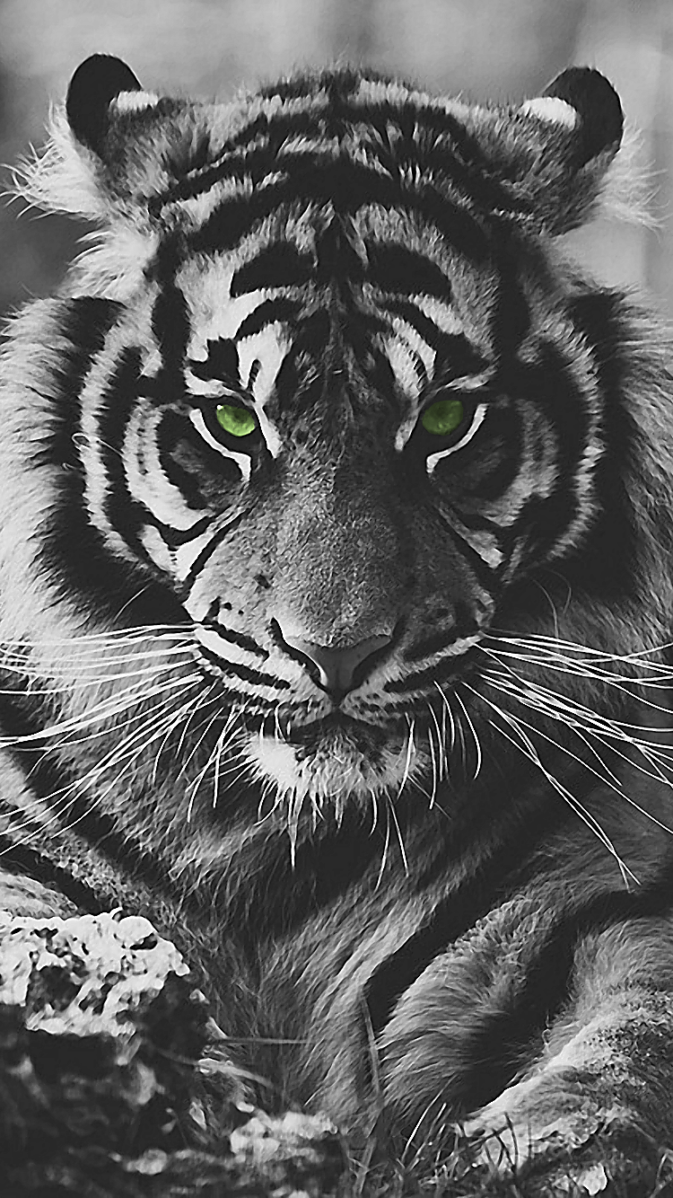 Black Tiger Wallpaper Iphone 6 Wallpapersimages Org
