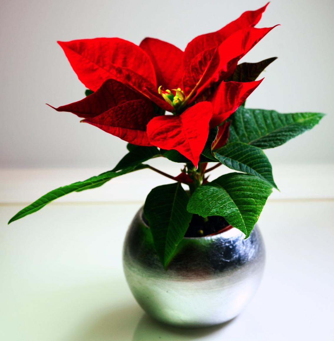 Baby Poinsettia II 2.jpeg