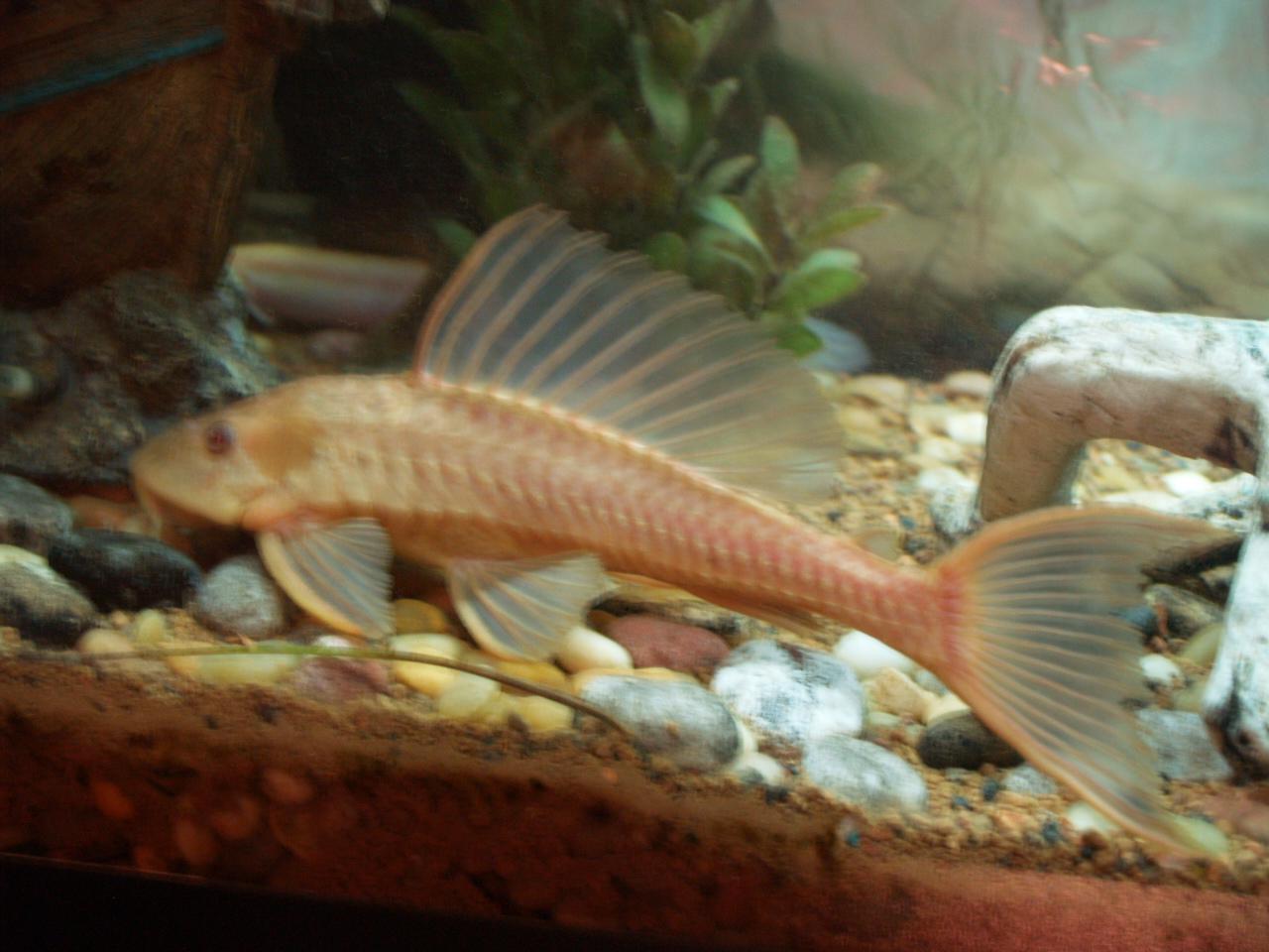 Ugly freshwater aquarium fish - Br030217 Jpg