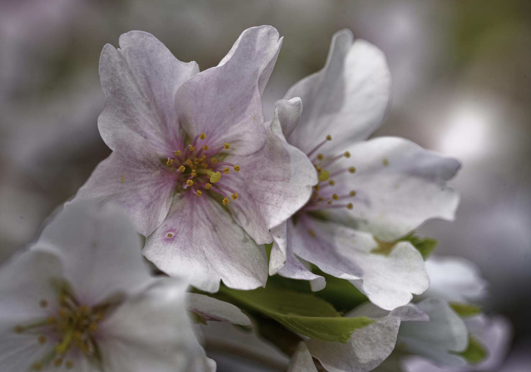Cherry Blossom Delight.jpg