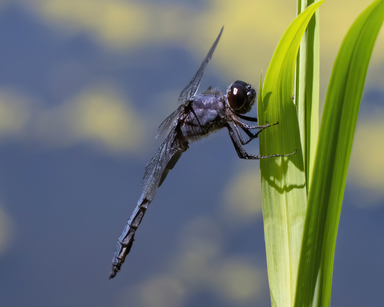 Dragonflybluecrop.jpg