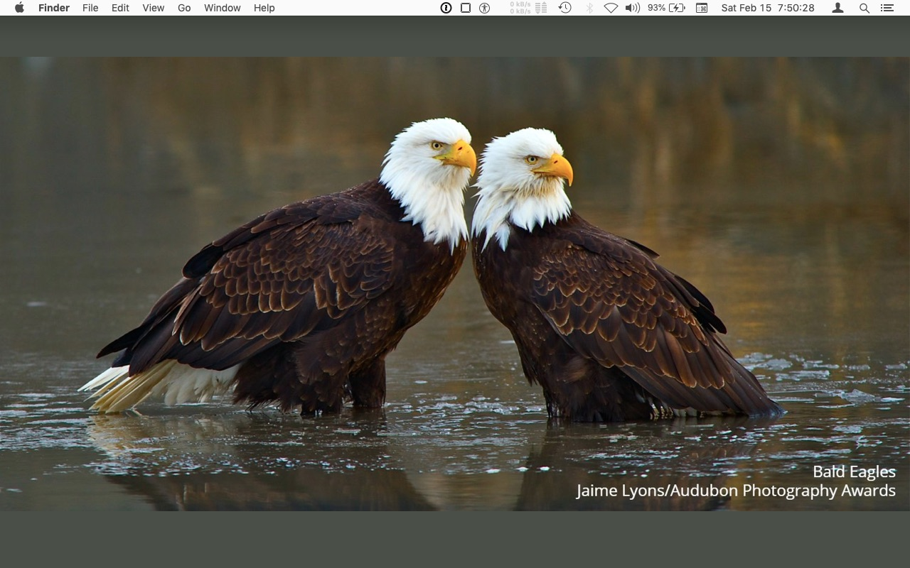 dtop 2020 feb - bald eagles -  Jaime Lyons : Audubon.jpg