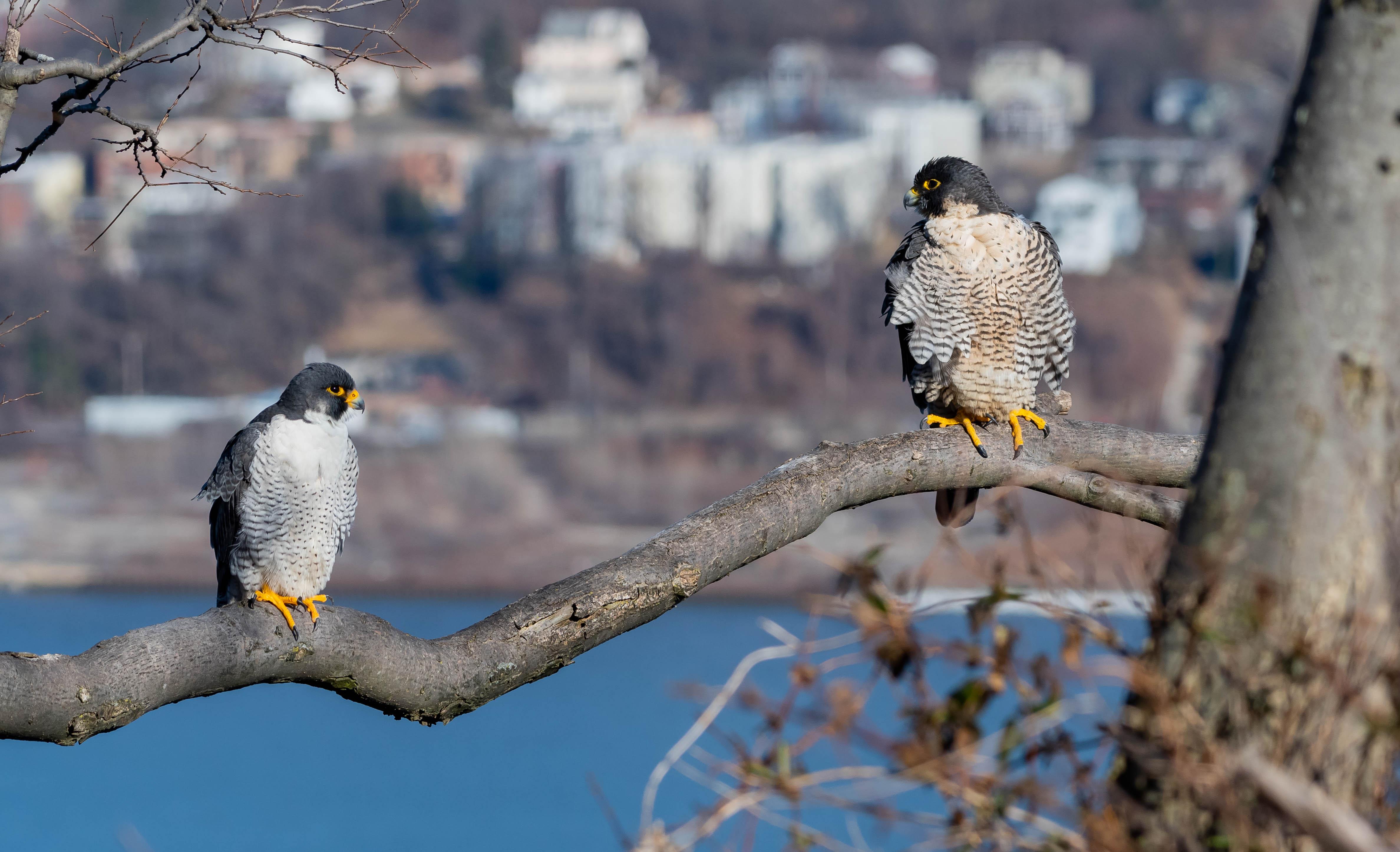 falcon_both_2-16-2019-145639.jpg