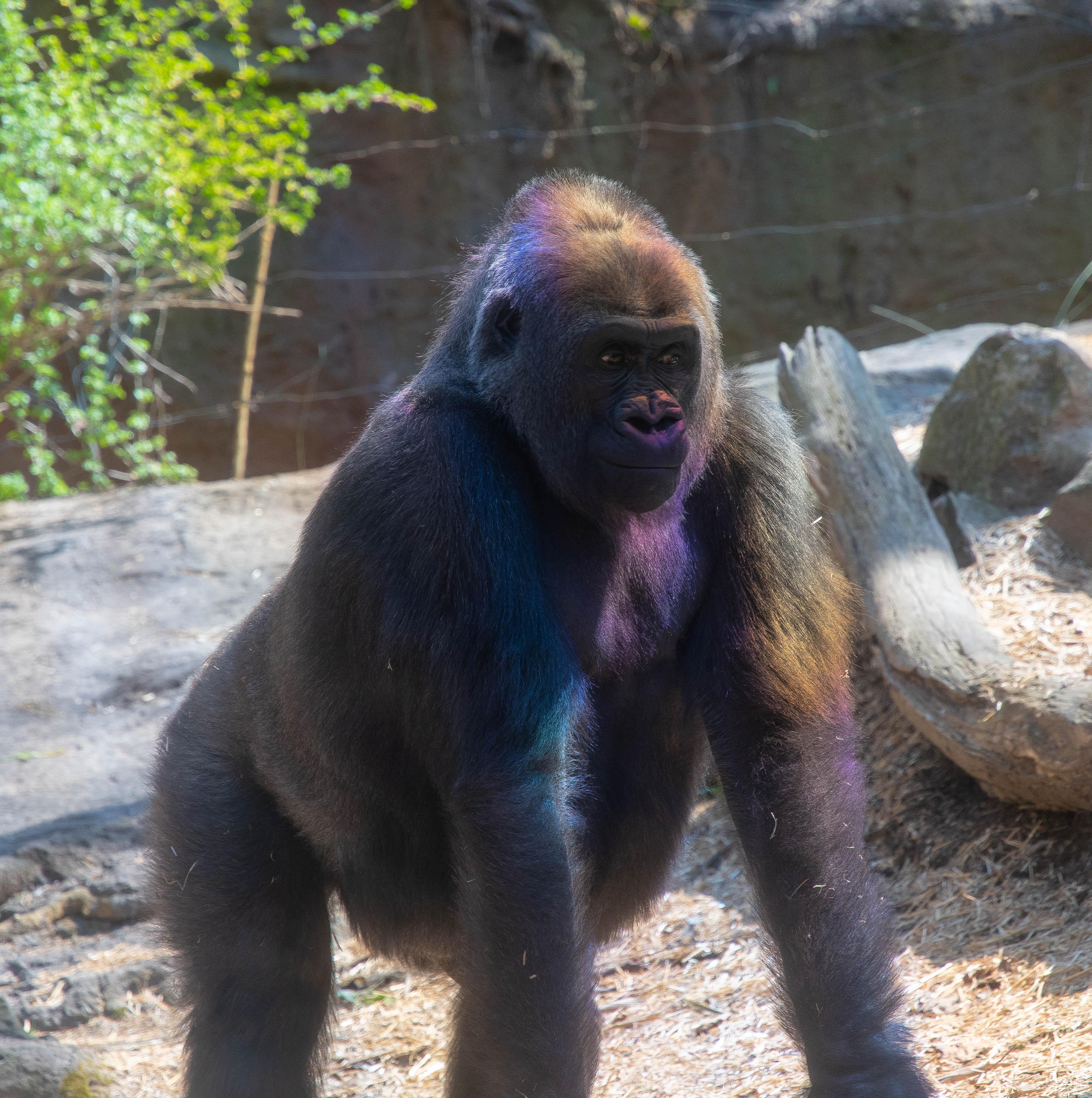 gorilla_rainbow_bronx_zoo-123028.jpg