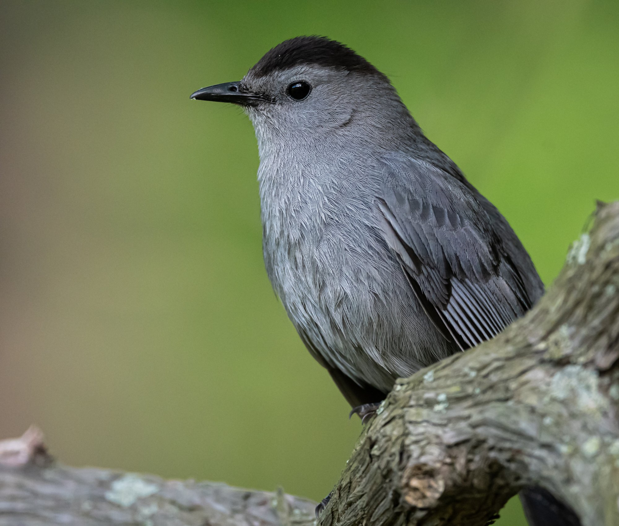 gray_catbird_5-20-2020.jpg