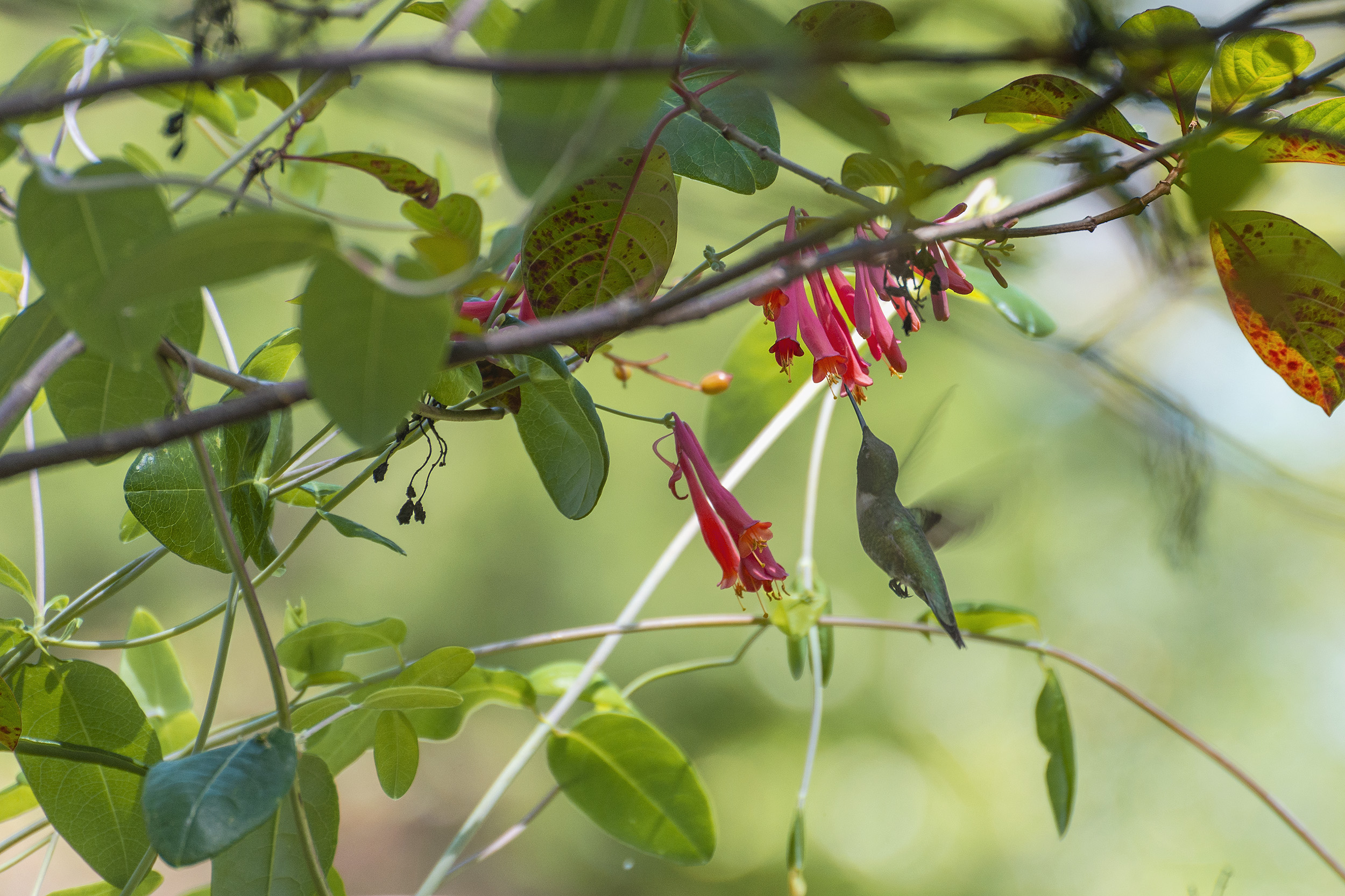 Hummingbird-2500px.jpg