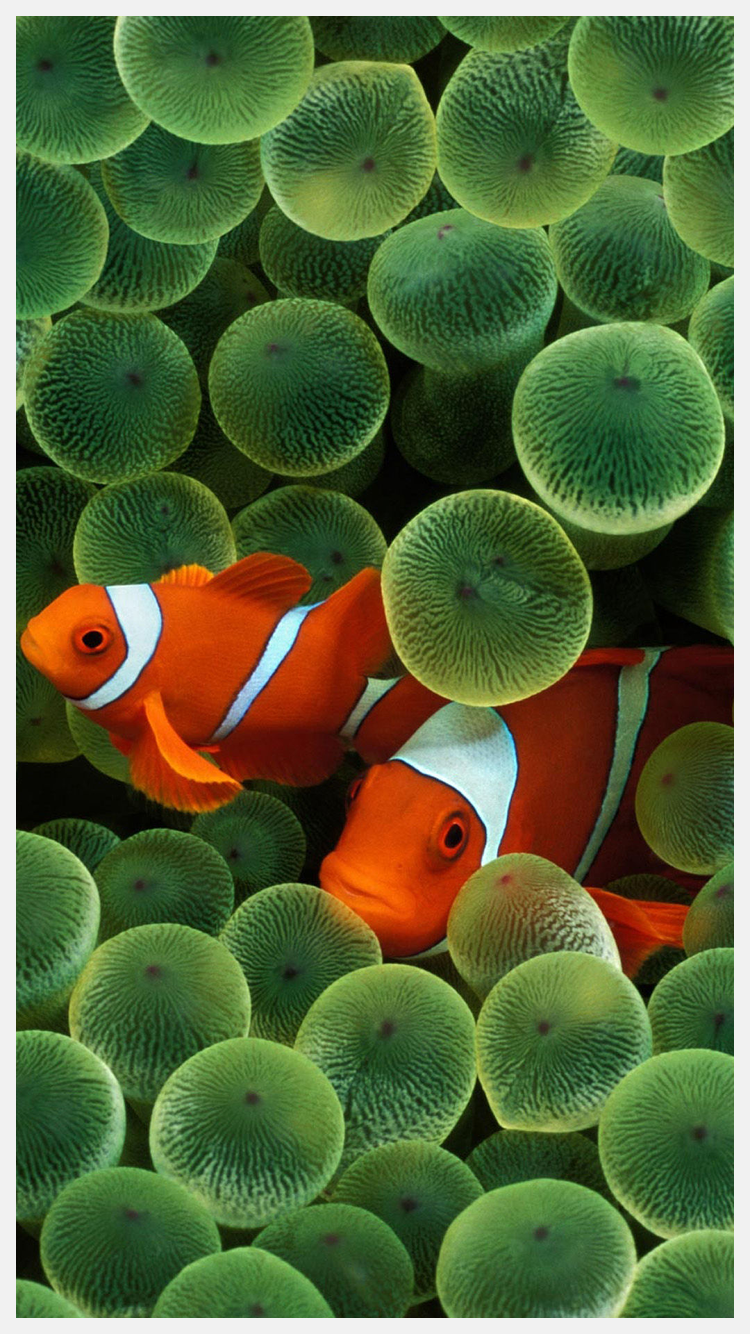 Iphone Clownfish Wallpaper Scroll Wallpapers
