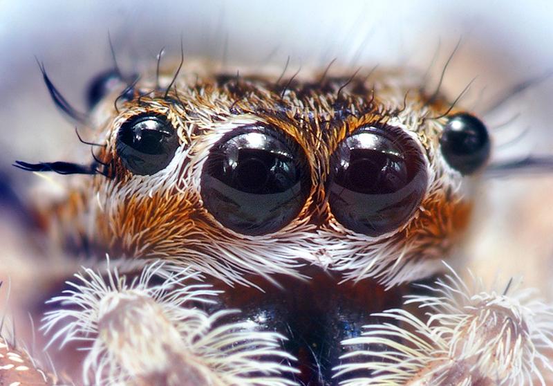 Jumping_Spider_Eyes.jpg