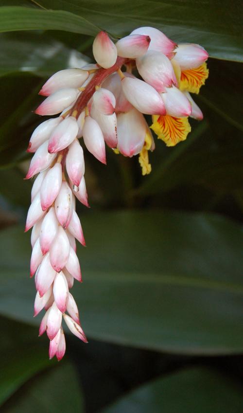 Maui flower 01 color resize.jpg