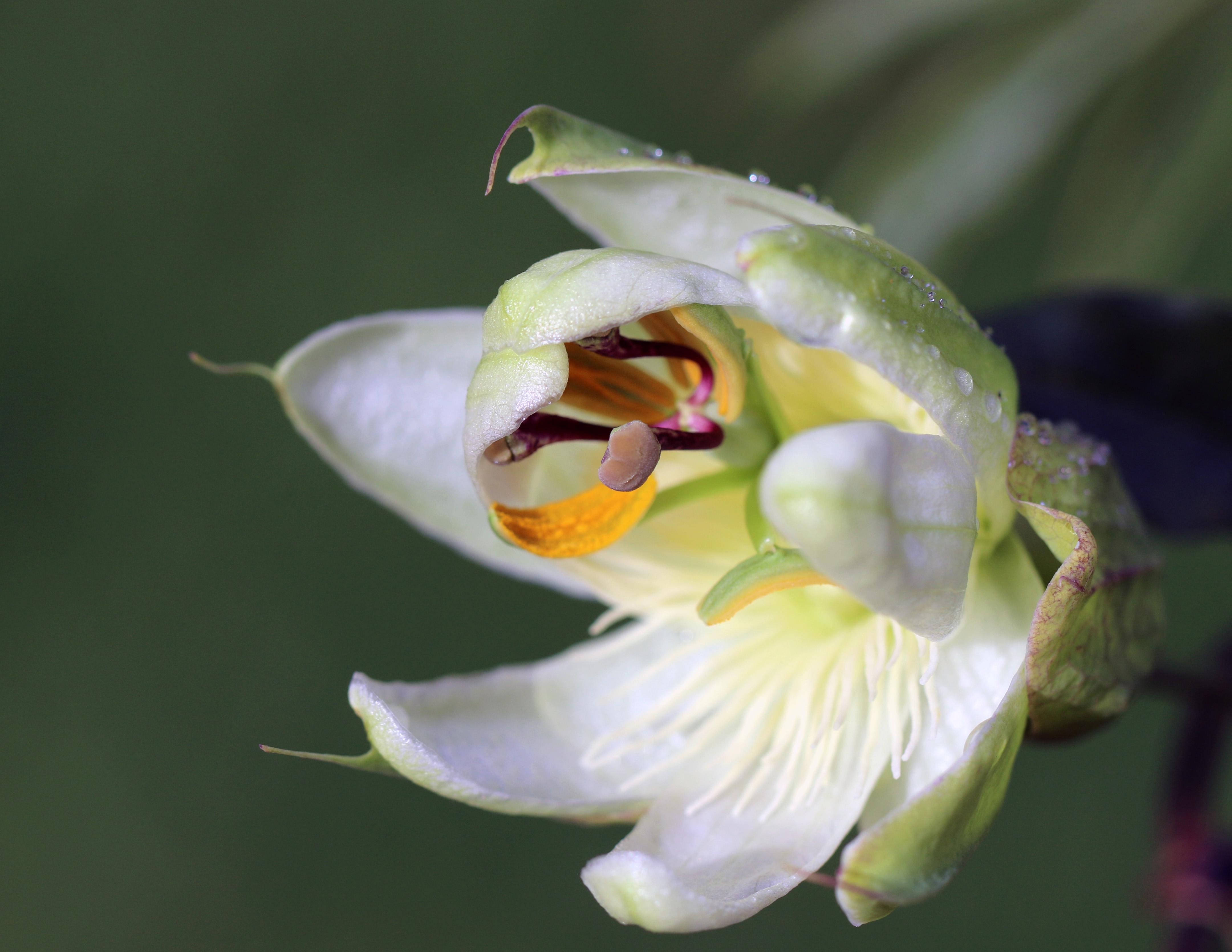 passion flower1.jpg