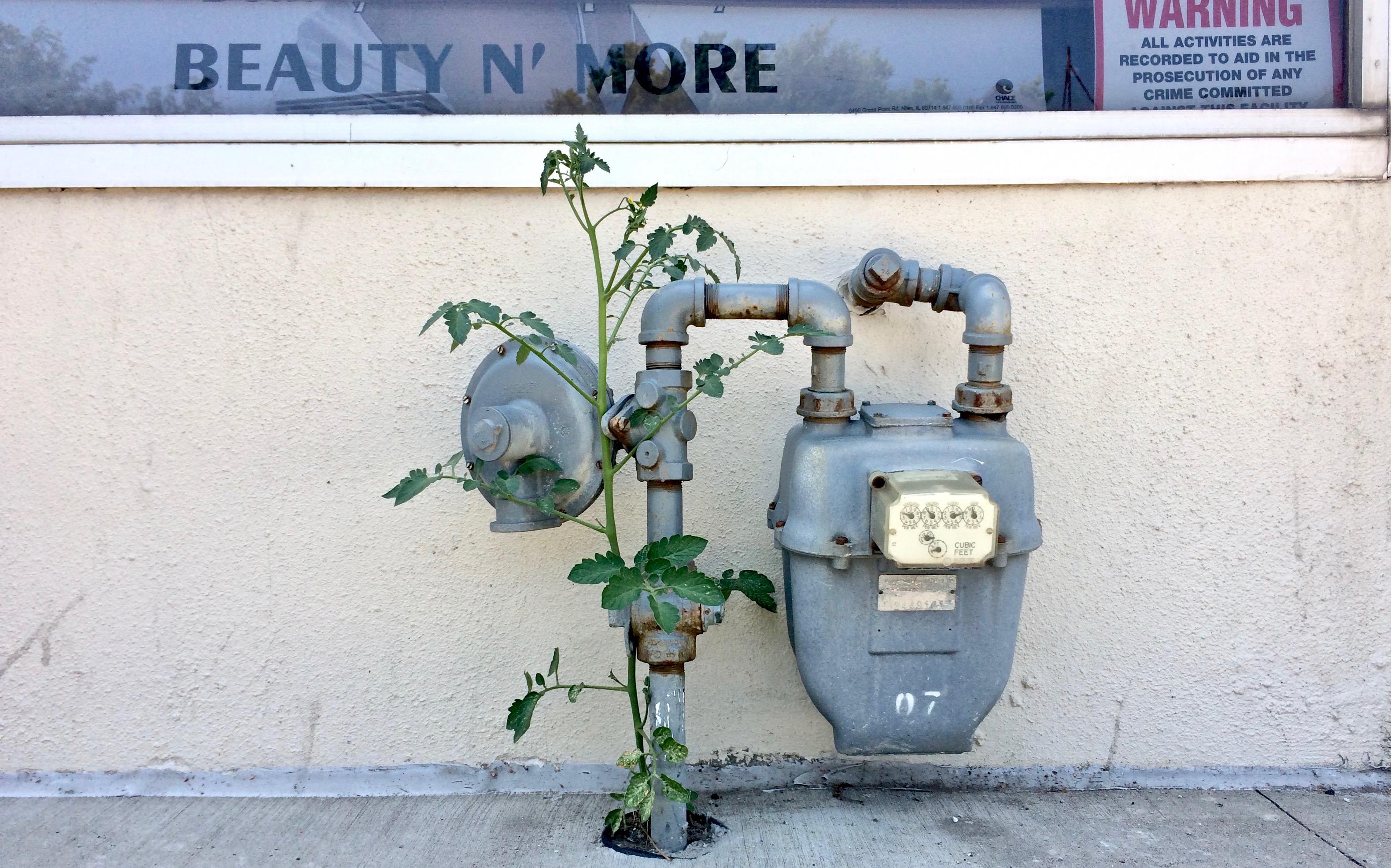Tomato plant IMG_5273.jpg