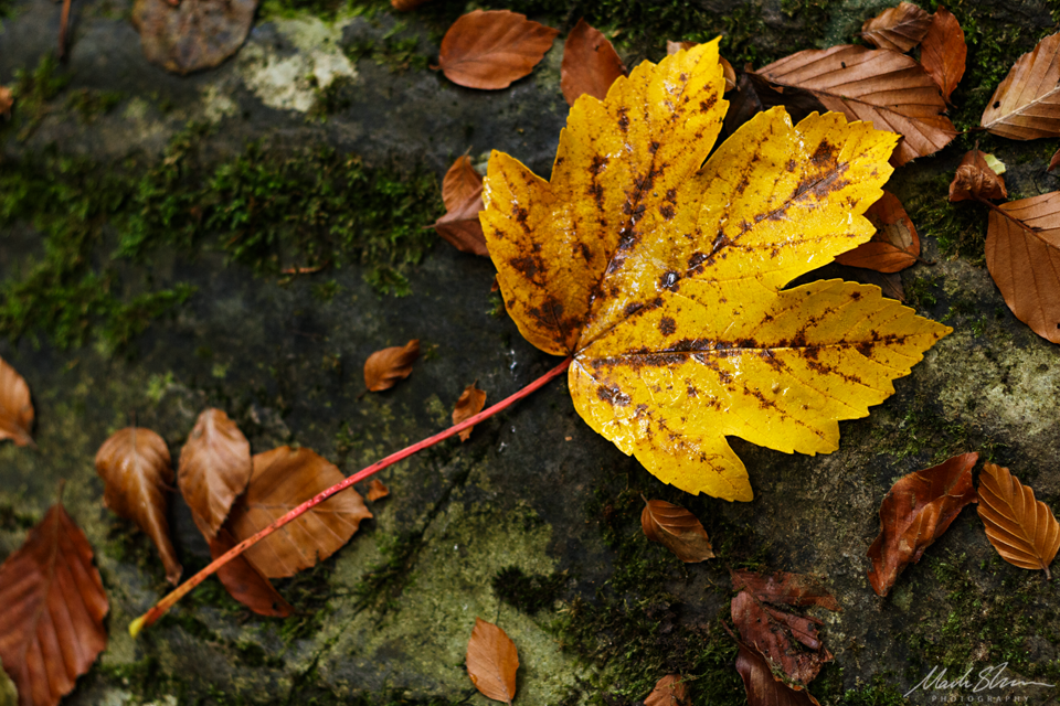 Yellow Leaf small PL copy.png