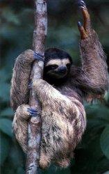sloth100.jpg