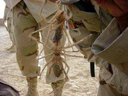 camelspider.jpg