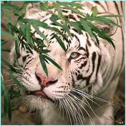 _1768316_tiger4.jpg