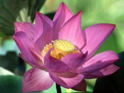 Purple-Lotus-Flower.jpg