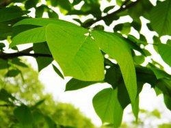 original leaf.jpg