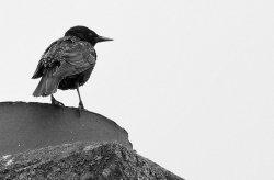 Starling.jpg