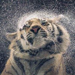 tiger03.jpg