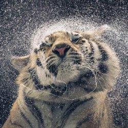 tiger04.jpg