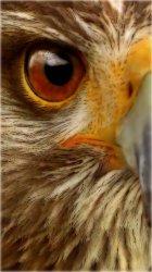 Hawk 02.jpg