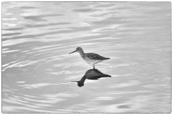 ripples_gr_yellowlegs (1).jpg
