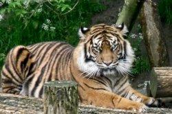 Tiger edit 2.jpg