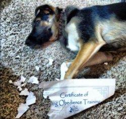 dog-chewed-obedience-certificate.jpg