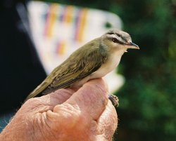 Red Eyed Vireo.jpg