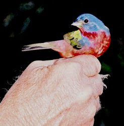 Painted Bunting I.jpg