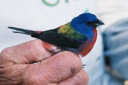 Painted Bunting II.jpg