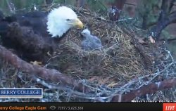 eaglet and mama on march 12.jpg