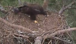 eaglet rearranging the furniture 5:14:2014 1642.jpg