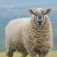 One Still Sheep