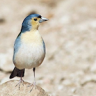BlueFinch